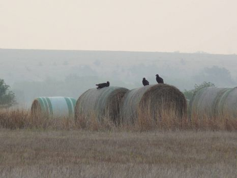 Vultures resting on round bales.