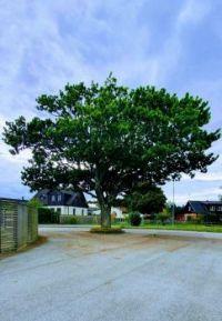 Trädet vid f.d. PoG