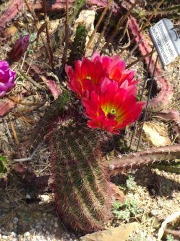 Pink Desert Flowers