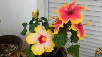 Mum's hibiscus 2