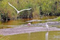 A roseate spoonbill center rests on a sandbar in a marshy area of Wilderness Park off Saline-Milan Road in Saline, Mich.Tuesday, July 20, 2021. The bird typically lives in the Gulf Coast region.