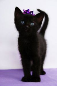 Birthday: Purple Bow Kitten
