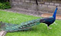 Peacock at Rivington Barn  (1)
