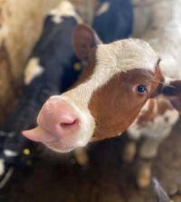 cow raspberry