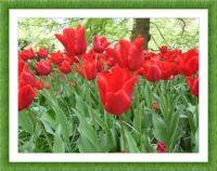 Záplava rudých tulipánů...  A flood of red tulips ...