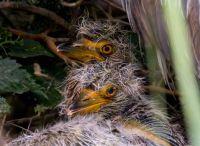 Yellow-crowned Night-Heron chicks