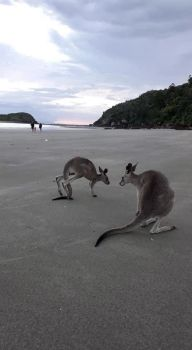 Roos at the Beach