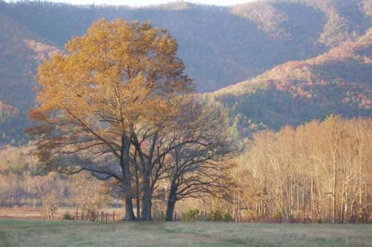 Smokey Mountains_golden Tree In Cades Cove