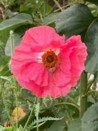 Pink Poppy Wildflower