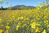 Flagstaff Flowers & Mountains (lg)