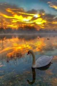 Colorful Dawn and Swan