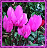 Cyclamen flowers.