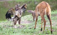 Eagle and deer calf