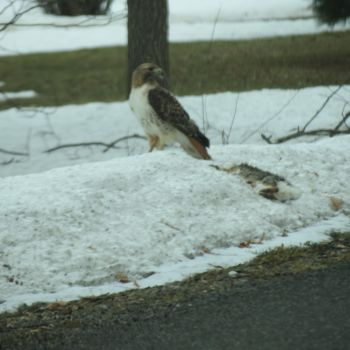 Red Tail Hawk with Road Kill Bunny