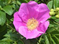 Dune rose bushes