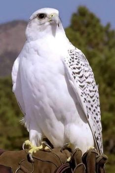 The White Eagle