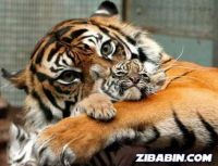 tiger's mum
