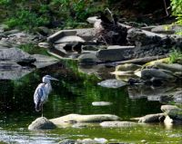 GREAT BLUE HERON ON HOLMES RUN