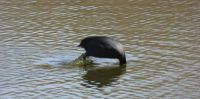 Just one more coot photo: Coot jumping in a dive !!