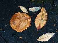 variations on an oak leaf--medium