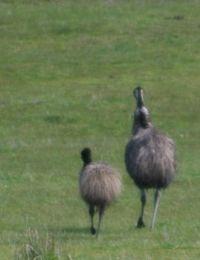 Emu Dad with Chick: King Island, Tas.