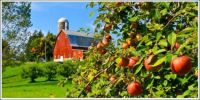 Rural apple orchard