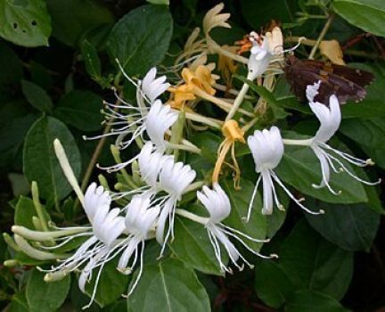 Ummm...I love the fragrance of honeysuckle!