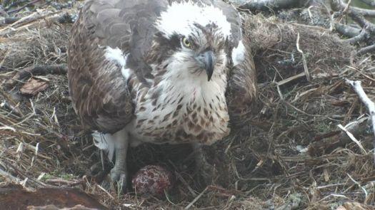 Osprey with eggs