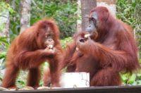 Mother and juvenile orangutan