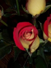 Mothers' Day Roses