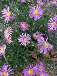 asters in the garden