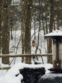 Hawk In Our Backyard This Morning