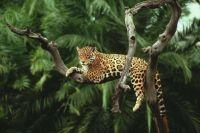 Jaguar in a tree in Brazil's Amazon Rainforest (easy version)