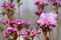 Rhodie in Bloom Apr. 1, 2021 (A)