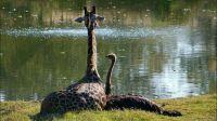 Giraf_eend
