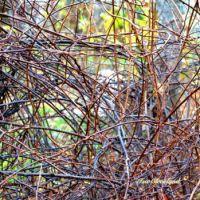 Kiwi vines
