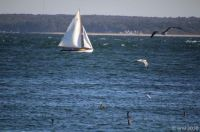 Sloop, Gulls & Cormorants