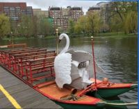 First time in 143 years summer will lack Swan Boats