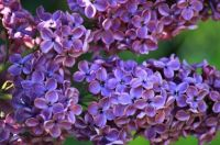 Difference-Between-Lavender-and-Lilac-lilac