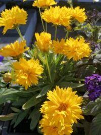 Sun flowers? No - sunny flowers!