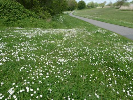 A grassy field with lots of daisies.