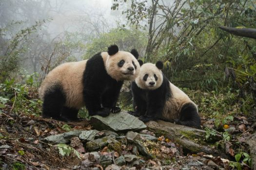 Pandas at Conservation Research Center in Sichuan Province, China