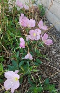 Evening Primrose starting to come up.