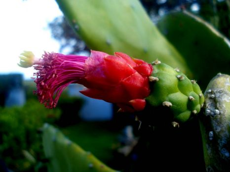 Prickly Pear flower, Bermuda.