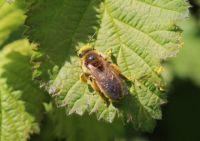 Mining bee full of pollen