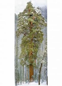 Giant Sequoia 250 ft tall 3500 years old