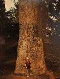 Kauri tree, New Zealand.