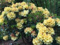 Yellow Rhodies 2