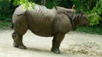 Stoic rhinocerous