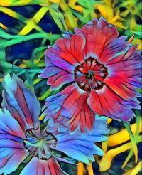 Dianthus Pinks